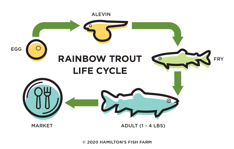 Rainbow Trout Life Cycle